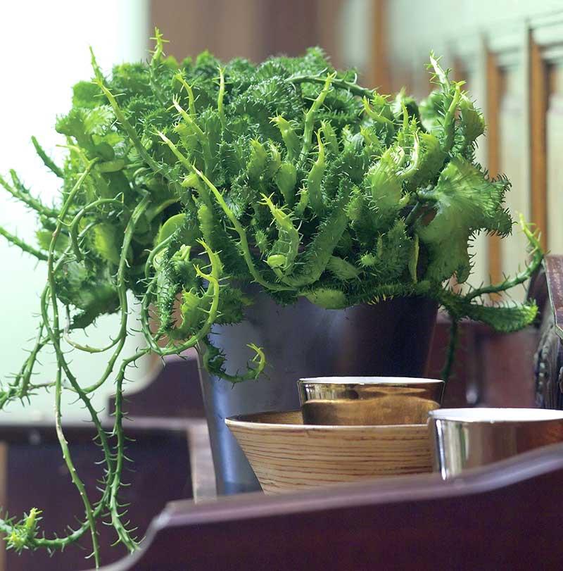 bockhornseuforbia suckulent krukväxt
