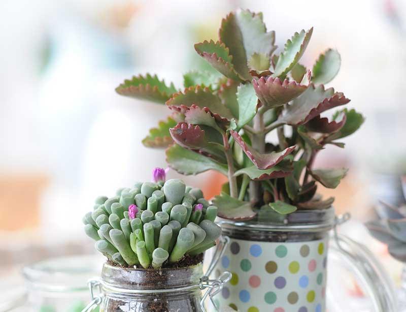 Sågtandad radbandskalankoe och litet klotblad suckulenter krukväxter