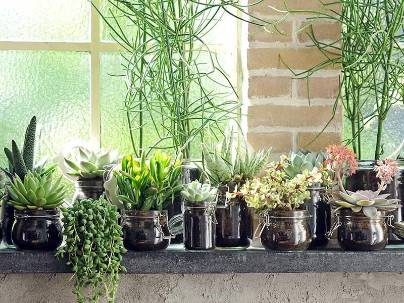 Suckulenter krukväxter inomhus