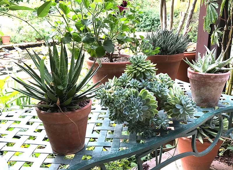 Suckulenter krukväxter utomhus på sommaren