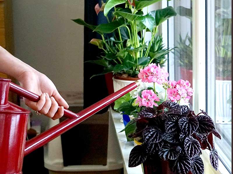 Hur mycket ska man vattna krukväxter på vintern?
