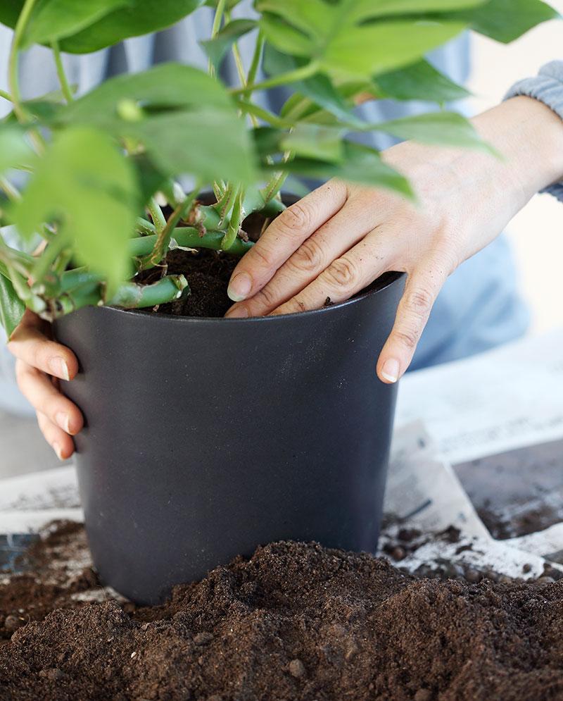 Plantering av krukväxt i jord