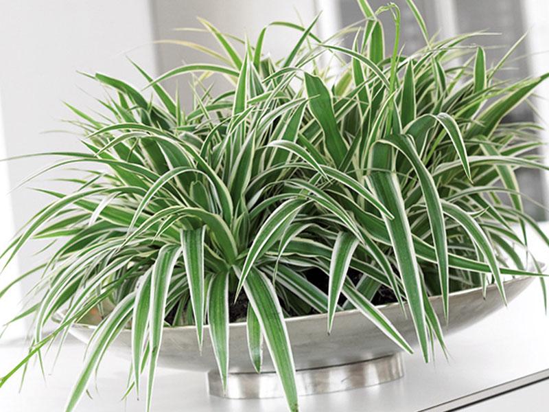 Chlorophytum, ampellilja.jpg