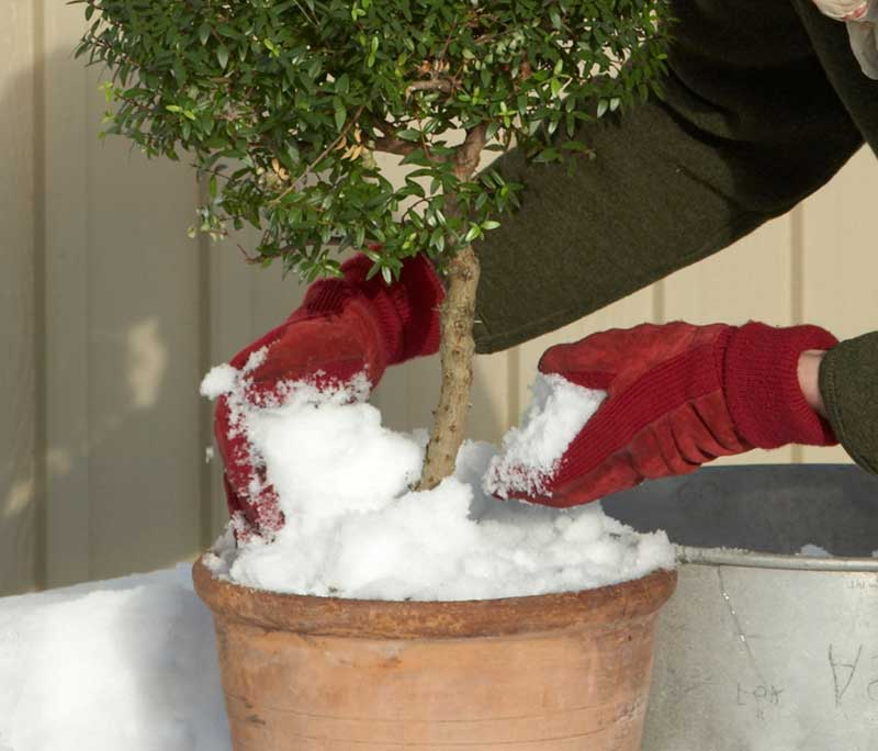 Snö för vattning av krukväxter myrten