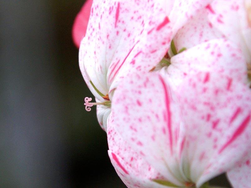 Klibbib pistill klar för pollinering