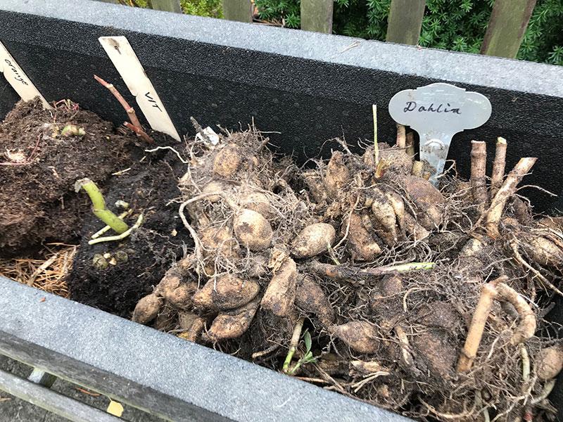 övervintring av sommarblommande knölväxter dahlia gladiolus begonia