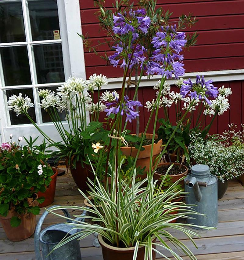 Agapanthus med olika blomfärger