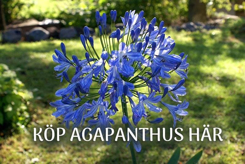 Köp agapanthus, afrikas lija hos Wexthuset