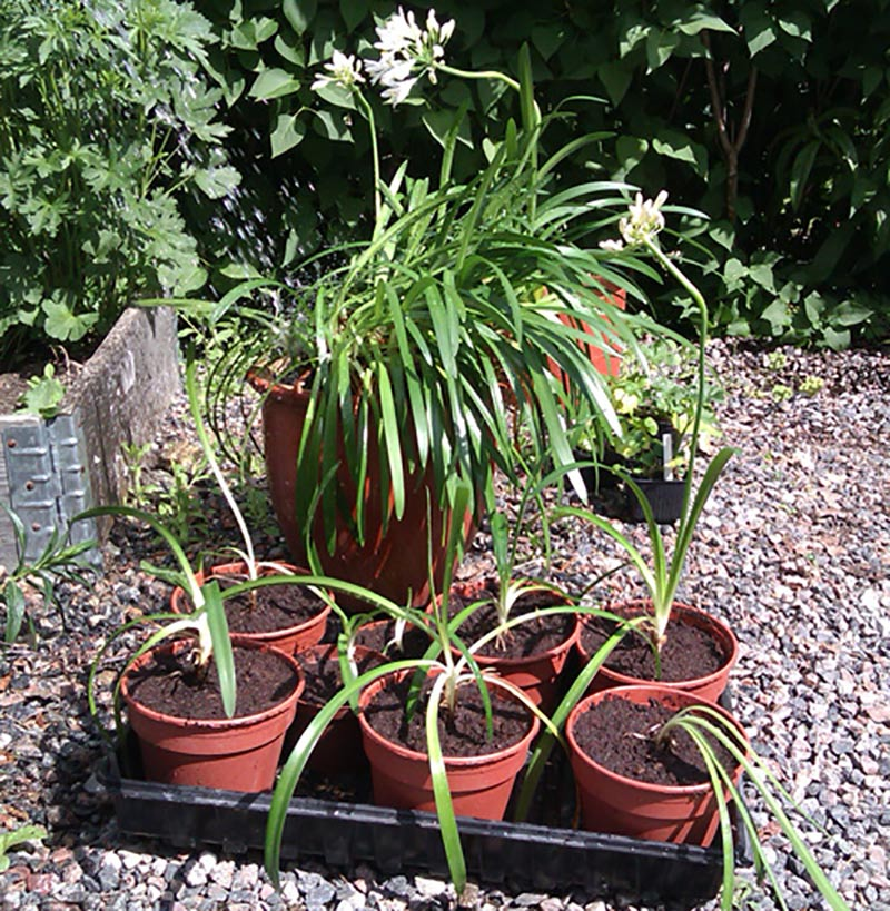 Nya små plantor av Agapanthus efter delning planterade i krukor