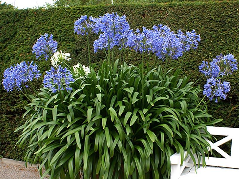 Stor planta av afrikansk lilja Agapanthus praecox