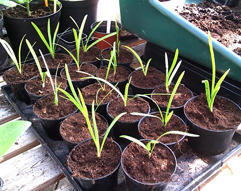 Omplanterade fröplantor av Agapanthus