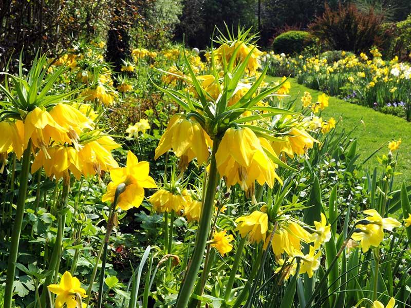 Kejsarkrona i rabatt med gula blommor