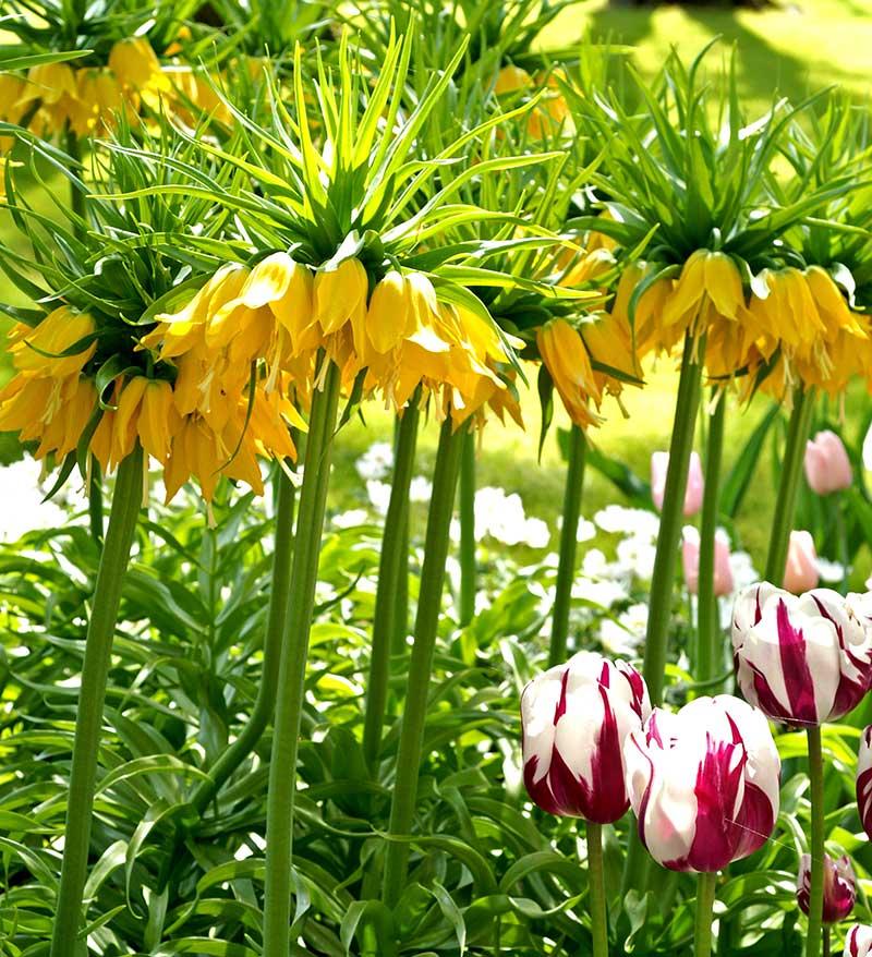 Kejsarkrona och tulpaner