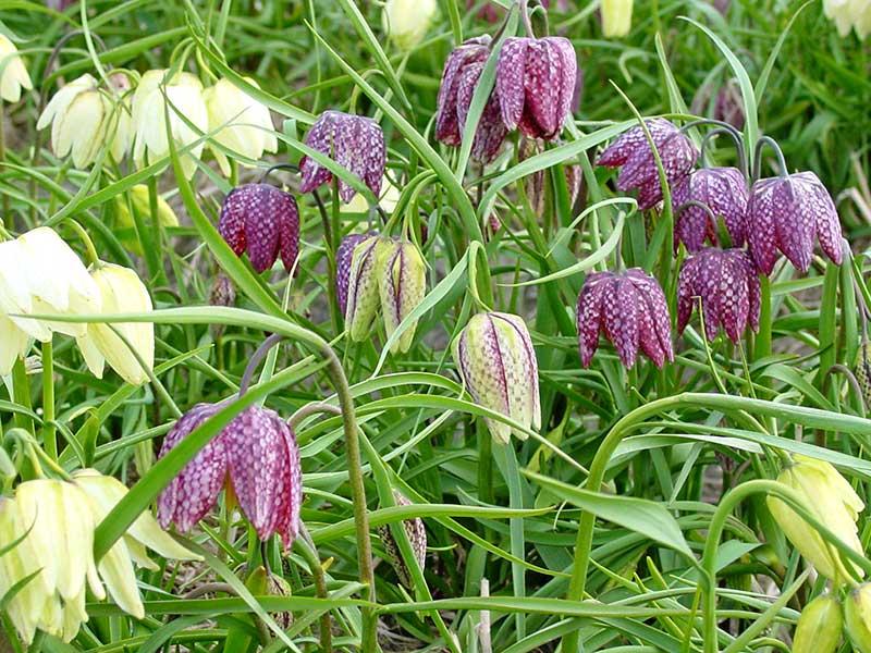 Kungsängslilja med rutiga blommor