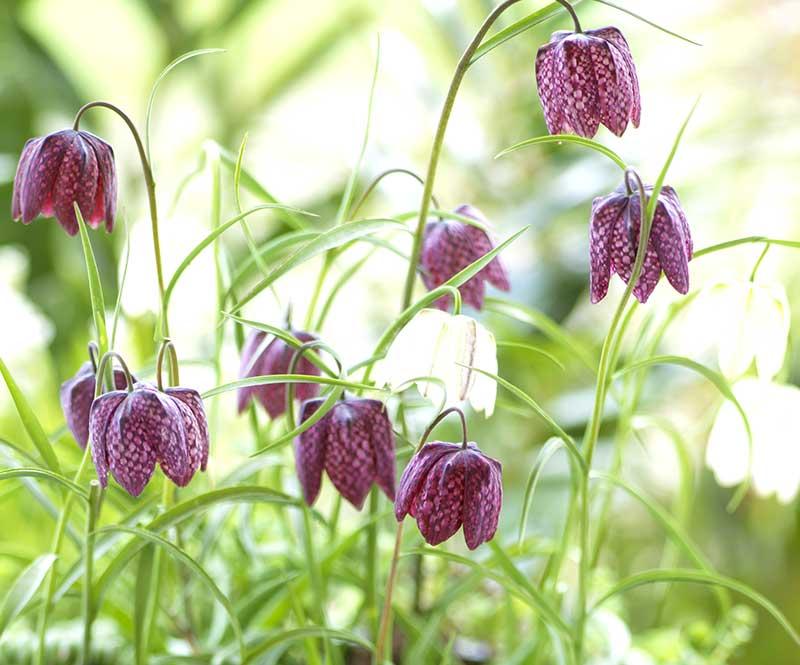 Kungsängslilja med rutig blomma
