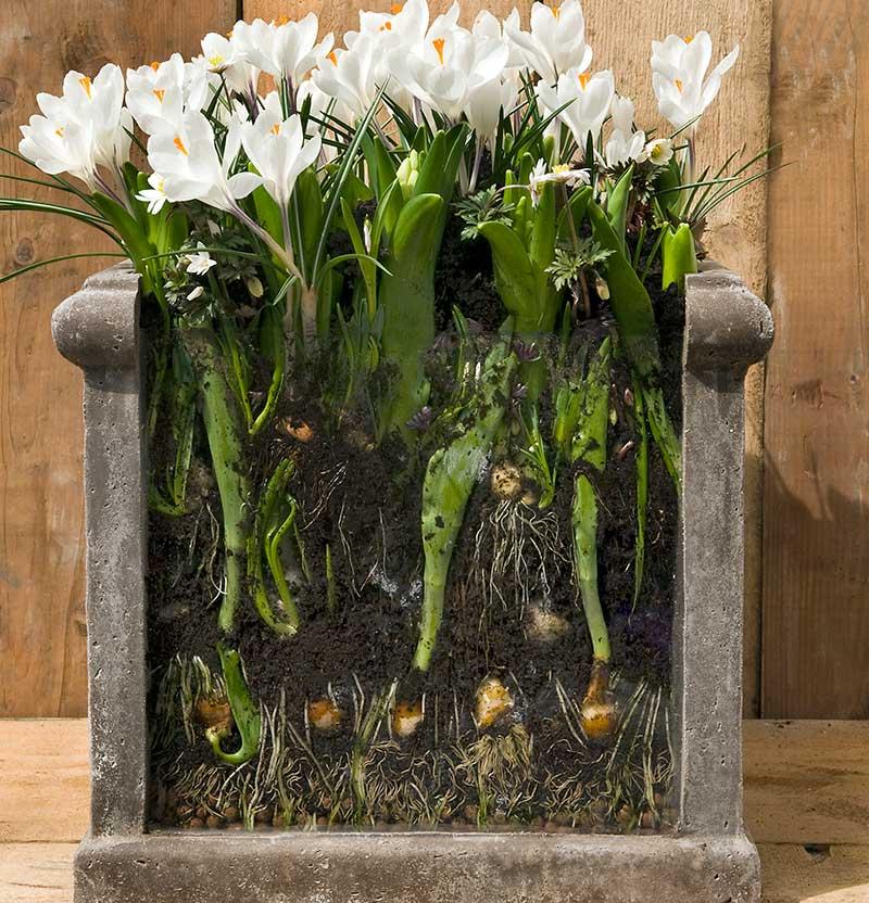 Löklasagne i utekruka med olika vårblommande lökväxter