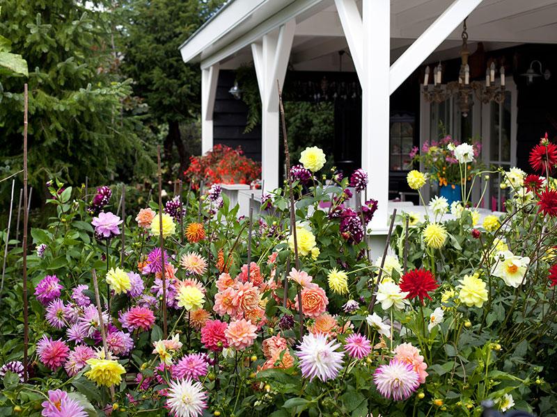 Olika sorters dahlia i trädgård