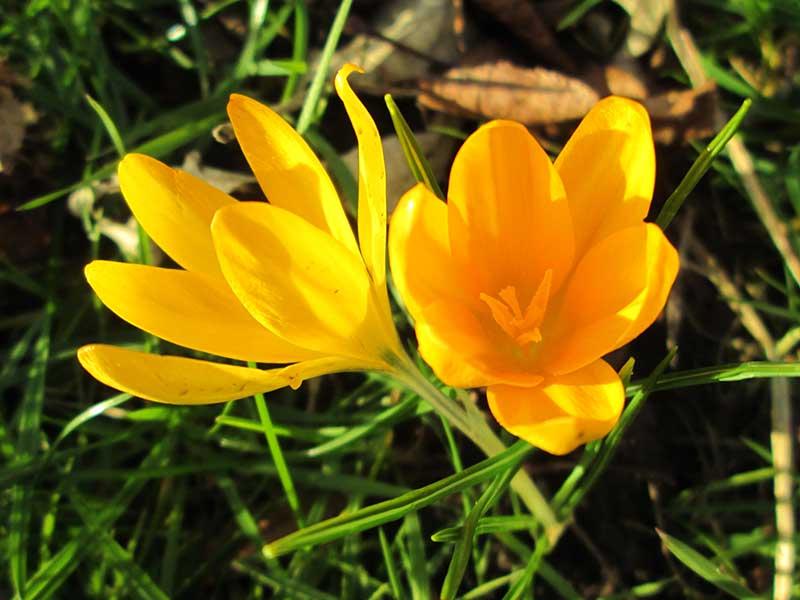 Gullkrokus blomma