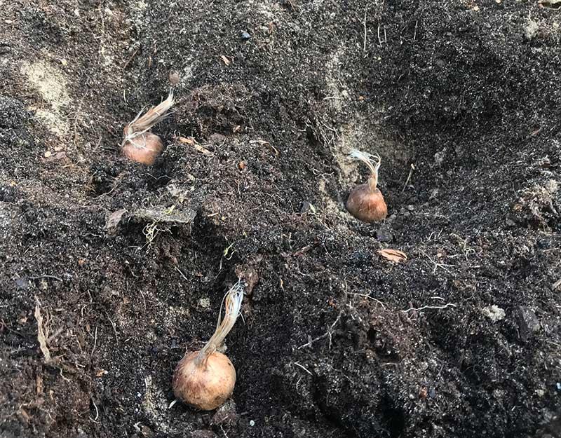 Plantering av krokus