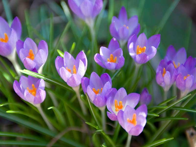 Snökrokus lila blomma