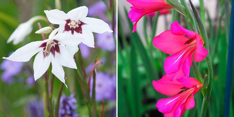 doftlilja gladiolus murielae gladiolus communis ssp byzantinus smablommig sabellilja