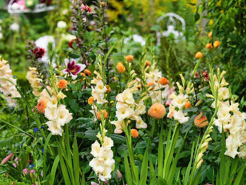 odling av gladiolus dahlia och lilja i rabatt
