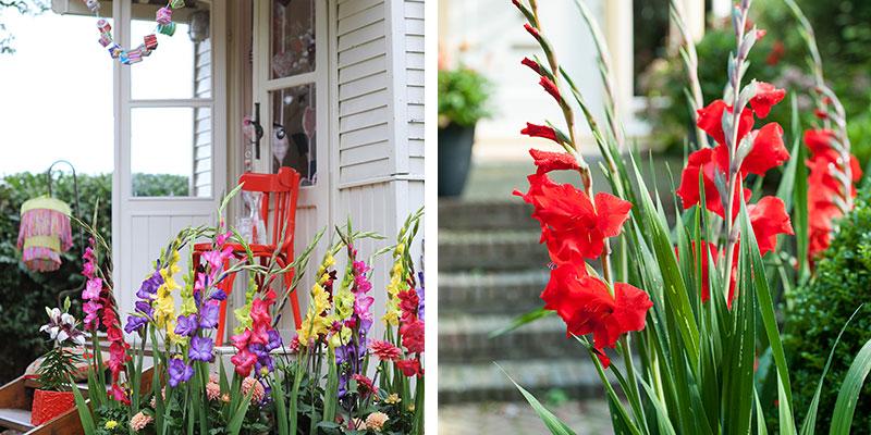 gladiolus I rabatt i trädgård