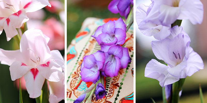 gladiolus nanus gladiolus primulinus gladiolus grandiflorus