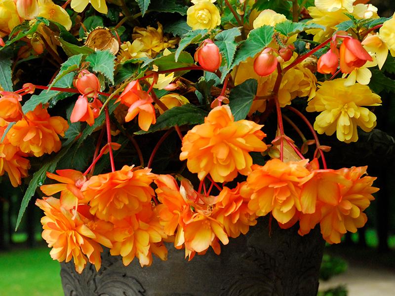 Knölbegonia, hängbegonia orange i utekruka