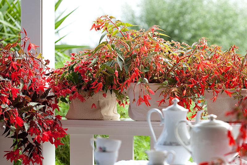 Röd knölbegonia, hängbegonia på balkong