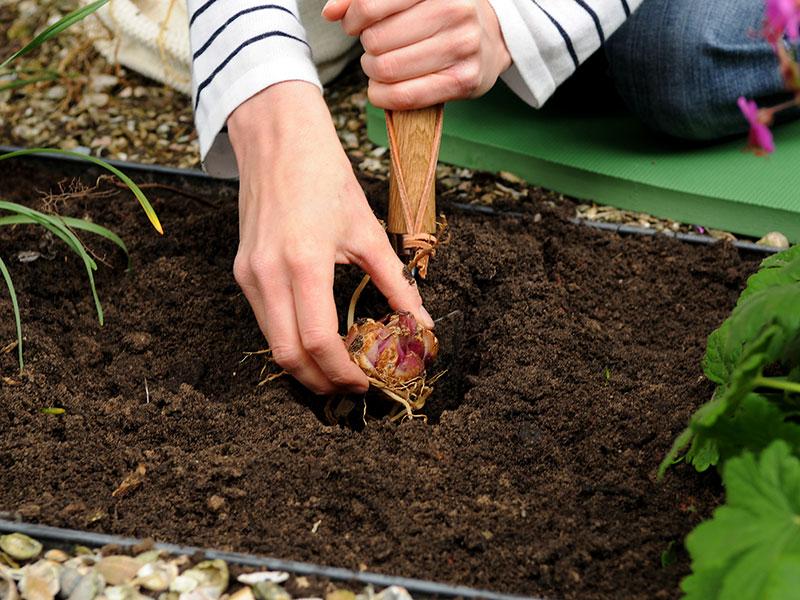 Plantering av liljelök i rabatt