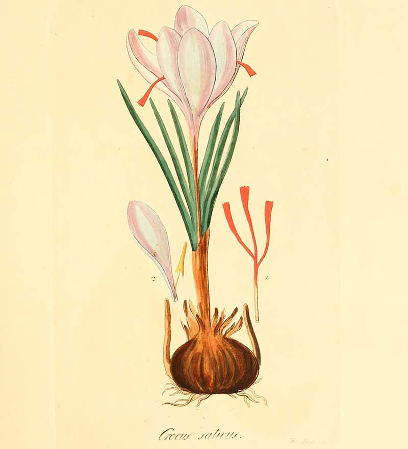 Botanisk plansch av saffranskrokus