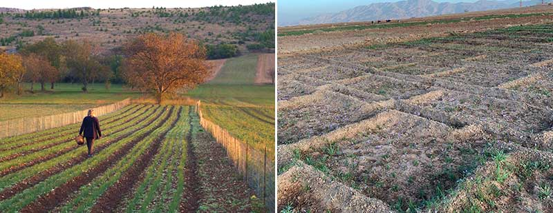 Kommersiell odling av saffran i Italien och Irak