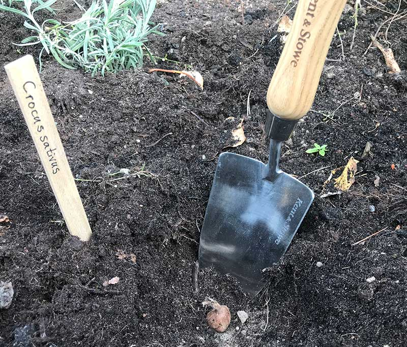 Plantering av saffranskrokus lökar i odlingsbädd