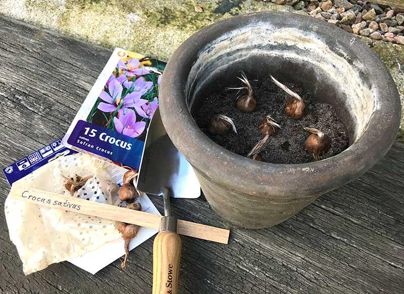 Plantering av saffranslökar i kruka