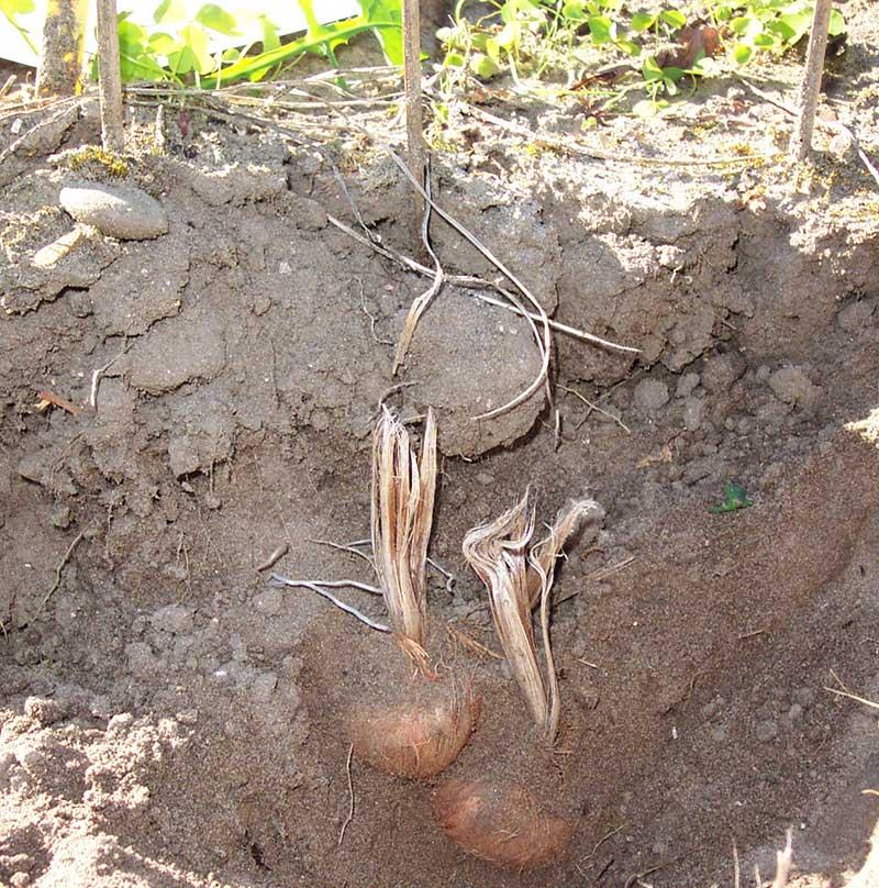 Saffranskrokus i jord