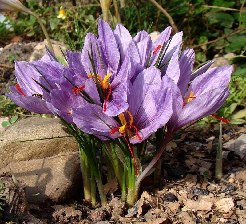 Odling av saffranskrokus i trädgård
