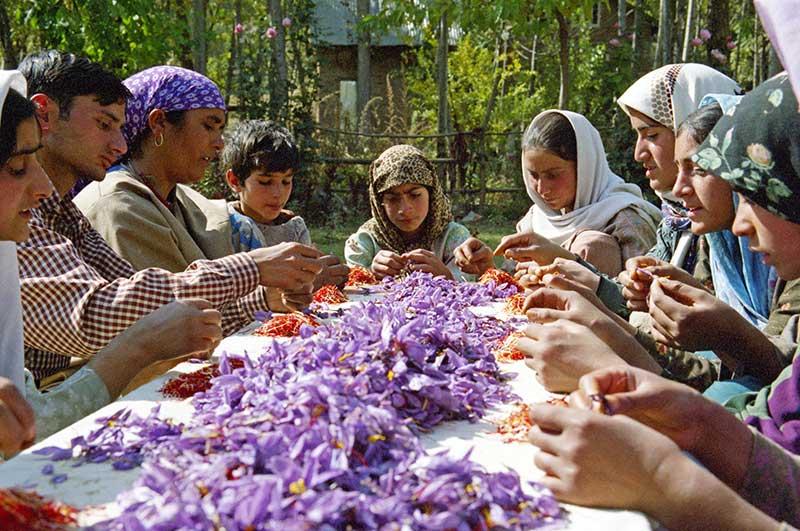 Skörd av saffran i odling i Azerbajdzjan