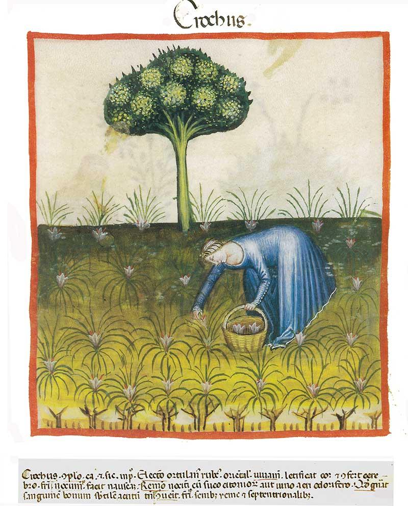 Skörd av saffran på medeltida teckning