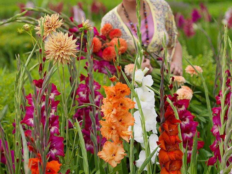 Skörd av dahlia och gladiolus till bukett
