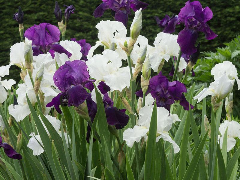 Skäggiris, vita och lila