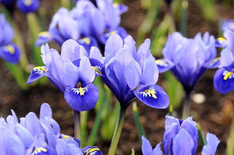 Våriris Iris reticulata