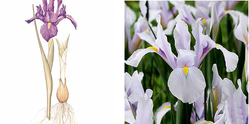 Lök av iris och holländsk iris