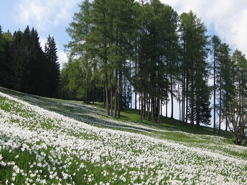 Vildväxande pingstliljor i Slovenien