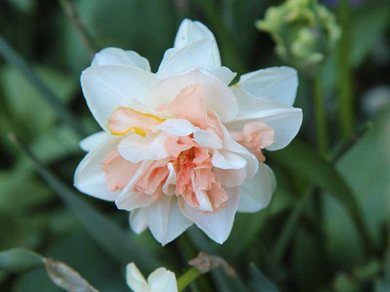 Narciss Delnashaug aprikos halvfylld