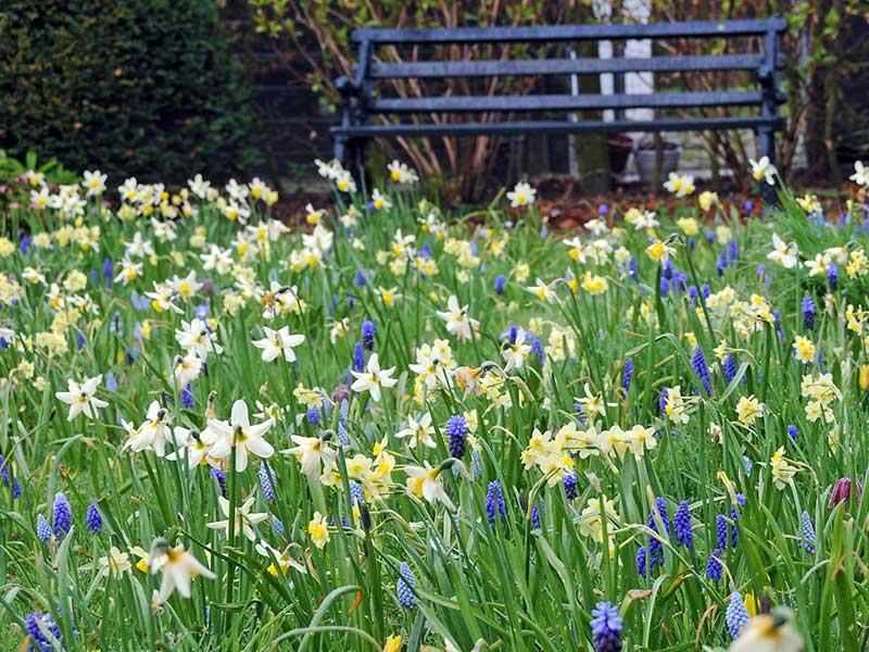 Narcisser och pärlhyacinter planterade i vildäng i trädgård