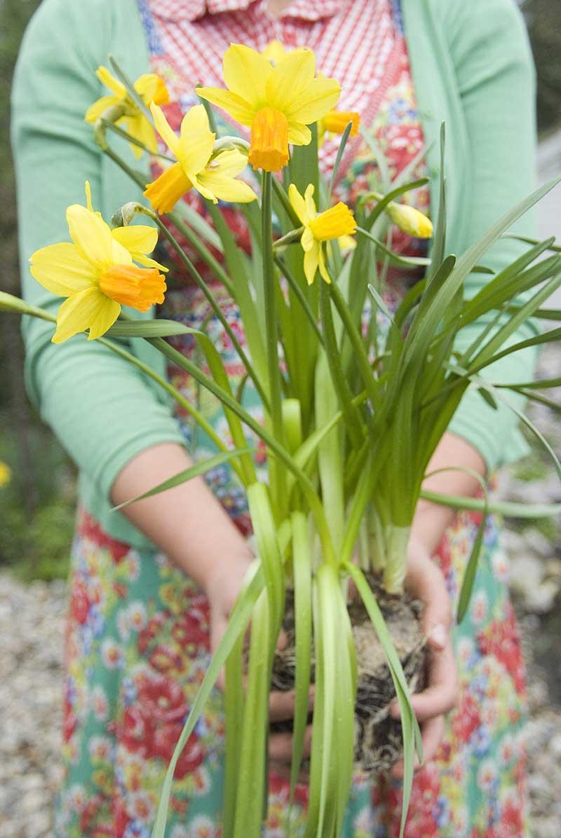 Omplantering av narcisser efter blomning