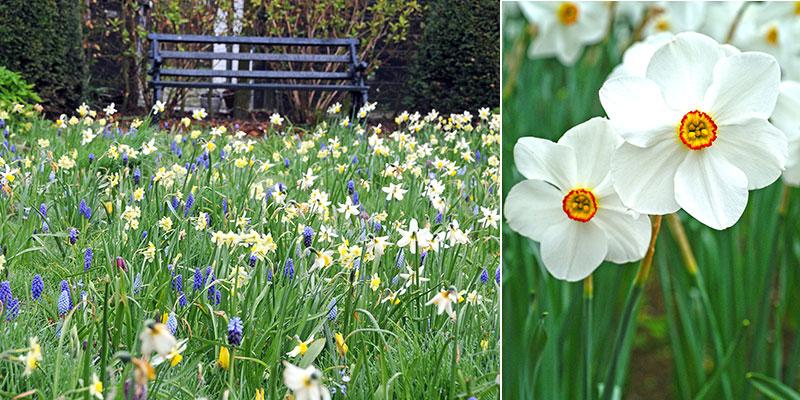 Narcisser planterade som en våräng med poetnarciss