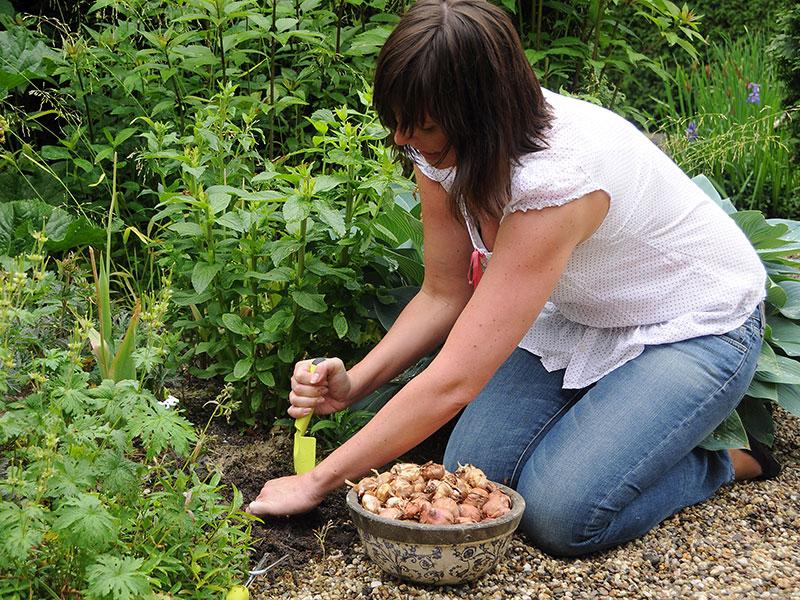 Plantering av narcisslökar i rabatt
