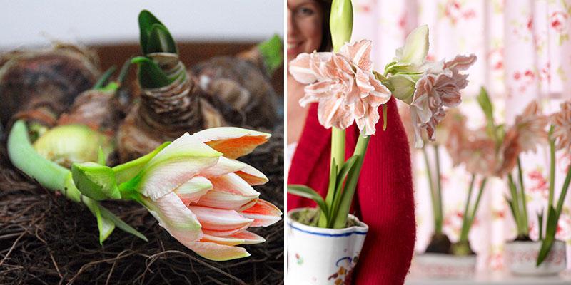 amaryllis nymph I blom